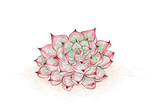 Ilustracja ręcznie rysowane szkic echeveria colorata a sukulenty do dekoracji ogrodu