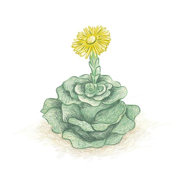 Ilustracja ręcznie rysowane szkic greenovia dodrentalis sukulenty do dekoracji ogrodu