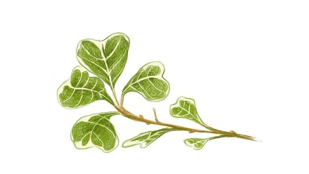 Ilustracja rośliny figowej ficus deltoidea lub jemioły