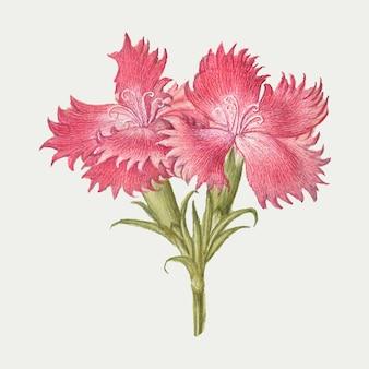 Ilustracja różowy słodki kwiat william