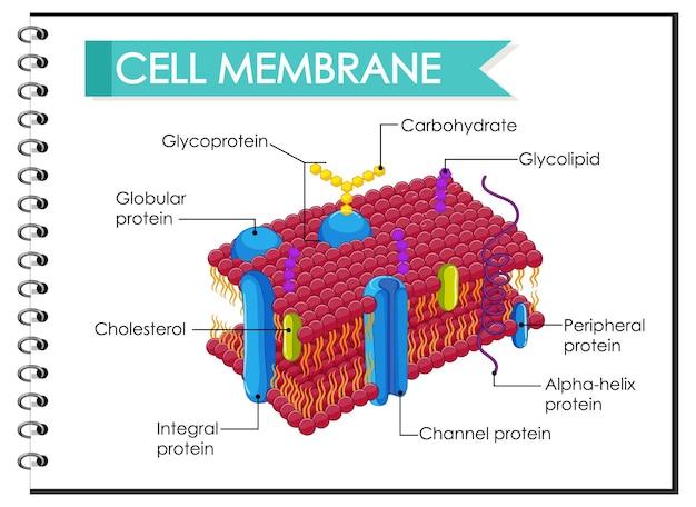 Ilustracja struktury błony komórkowej człowieka