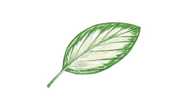 Ilustracja świeżego liścia calathea picturata na białym