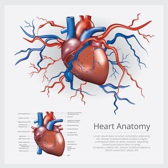 Ilustracja wektorowa anatomii ludzkiego serca