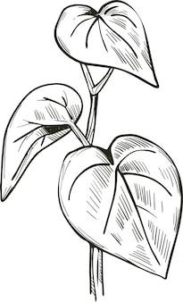 Ilustracja wektorowa kava na białym tle. gorzkie liście pieprzu kava-kava. kawa lub ava, yaqona sakau, seka i malok lub malogu