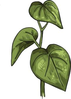 Ilustracja wektorowa kava na białym tle. uprawa pieprzu kava-kava, zielone gorzkie liście. awa lub ava