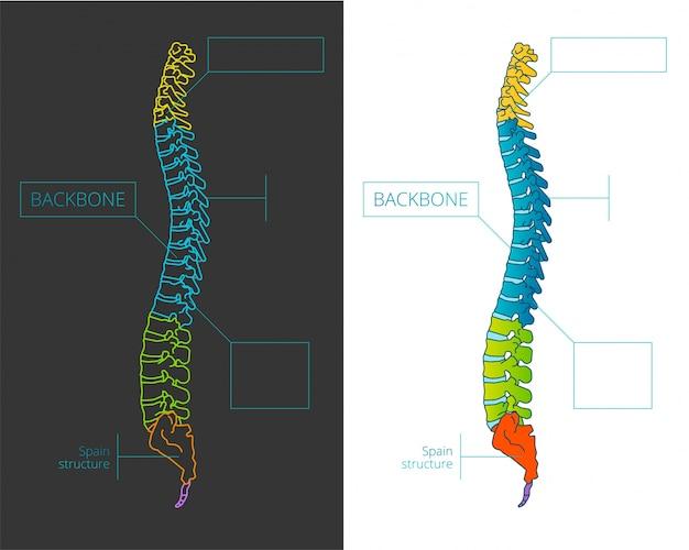 Ilustracja wektorowa kości kręgosłupa z kolorowymi sekcjami.