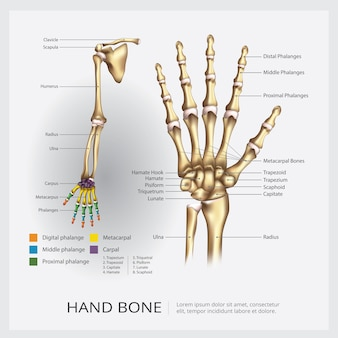 Ilustracja wektorowa kości ludzkiej ręki i ręki