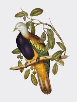 Ilustracja wspaniały gołąb owocowy