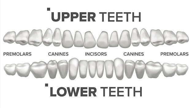 Ilustracja zestawu zębów