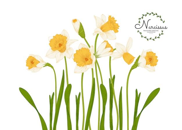 Ilustracje botaniczne, rysunki kwiatów żonkila lub narcyza.