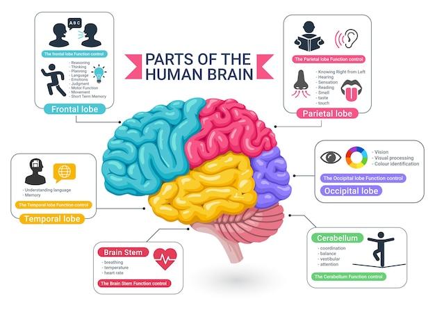 Ilustracje na diagramach funkcjonalnych obszarów ludzkiego mózgu