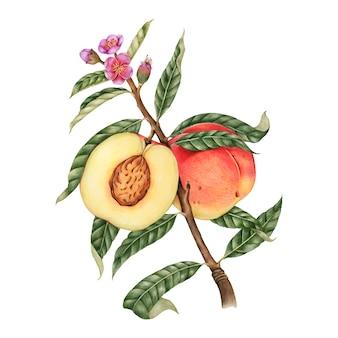 Ilustracyjny rysunkowy styl brzoskwinia