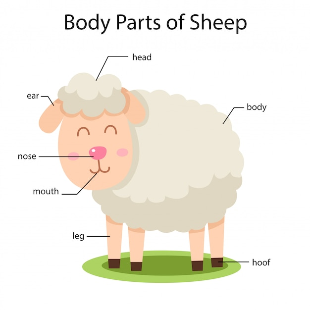 Ilustrator części ciała owiec