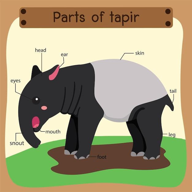 Ilustrator części tapiru