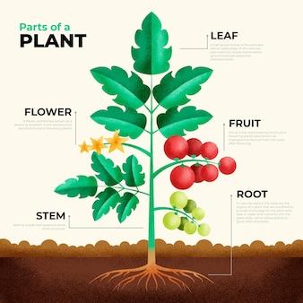 Infografika geometryczna części roślin