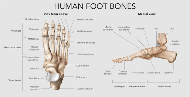 Infografika kości ludzkiej stopy