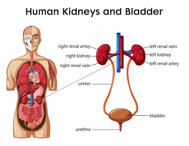 Infografika w stylu kreskówek ludzkich nerek i pęcherza moczowego