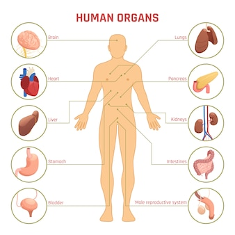 Infografiki ludzkich narządów