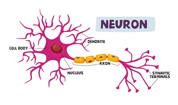 Infografiki schematu ludzkich neuronów dendryt, ciało komórkowe, akson i jądro z synaptycznymi terminalami naukowa infografika medyczna, pomoc w nauce na białym tle