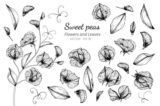 Inkasowy set słodkiego grochu kwiat i liście rysuje ilustrację.