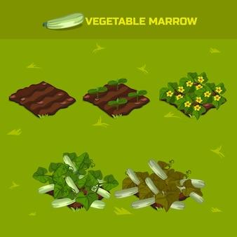 Izometryczny etap wzrostu szpik warzywny