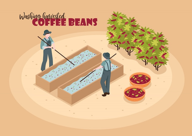 Izometryczny kolor produkcji kawy z postaciami dwóch pracowników myjących zebrane ziarna kawy tekstem