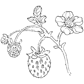 Jagody ręcznie rysunek. truskawka
