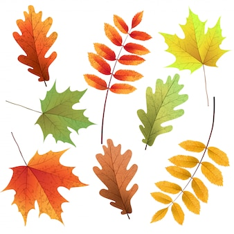 Jesienne liście zestaw, na białym tle. jarzębina, dąb, liść klonu. bukiet z jesiennych liści.