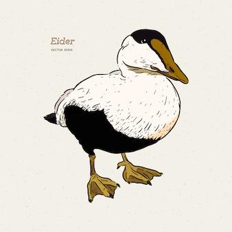 Kaczka eider jest rysunkiem linii dużych kaczek morskich