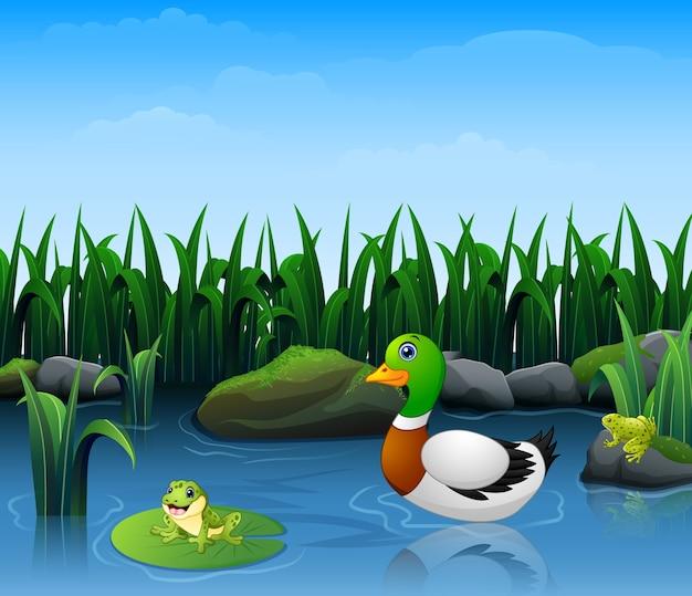 Kaczki pływają z żabami w rzece