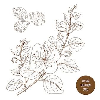 Kapary. vintage botanika wektor ręcznie rysowane ilustracja na białym tle. styl szkicu zioła kuchenne i przyprawy.