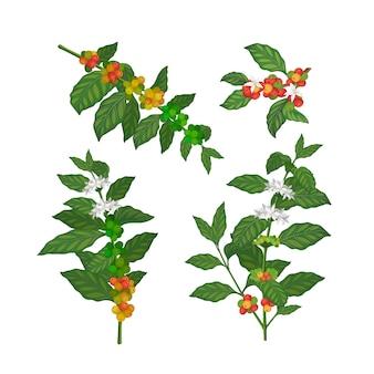 Kawa roślina wektor ziarna kawy drzewo ilustracja zestaw