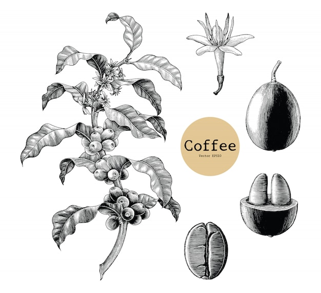 Kawy gałąź, kawowy kwiat, kawowej fasoli ręki rysunkowy rocznik odizolowywający na białym tle
