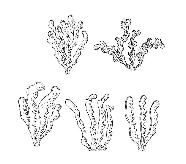 Kelp, brown algi ilustracja. rysunek na białym tle. obiekt superfood. szkic zdrowej żywności ekologicznej.