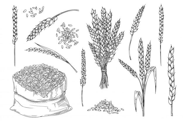 Kłoska pszenicy. ręcznie rysowane element projektu piekarni na białym tle. kłos pszenicy, kiść ziarna, nasiona w szkicu torby tekstylnej. pieczenia surowego materiału jądra ilustracji. zestaw zbóż. żniwa w gospodarstwie