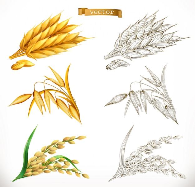 Kłosy pszenicy, owsa, ryżu. realizm 3d i style grawerowania. ilustracja