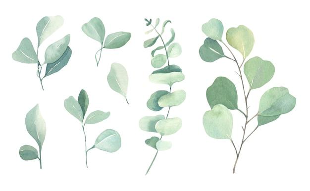Kolekcja akwarela eukaliptusa.