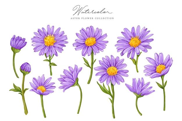 Kolekcja akwarela fioletowy aster
