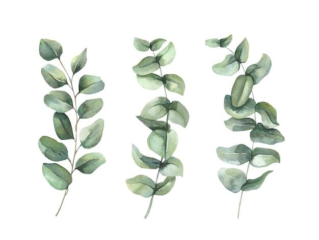 Kolekcja gałęzi zielonych liści eukaliptusa.