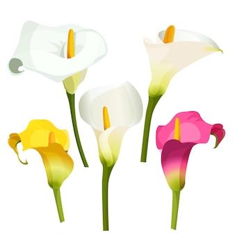 Kolekcja kolorowych lilii arum na białym tle. ilustracja białych, fioletowych i żółtych delikatnych kwiatów na zielonych cienkich łodygach. zantedeschia, lilia calla stosowana jako ceniona roślina ozdobna