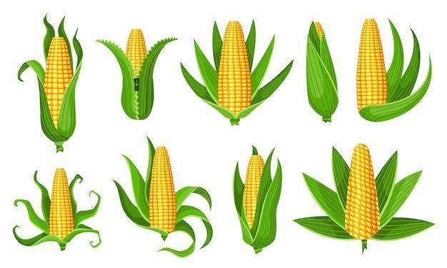 Kolekcja kukurydzy. na białym tle dojrzałe kłosy kukurydzy. żółte kolby kukurydzy z zielonymi liśćmi.