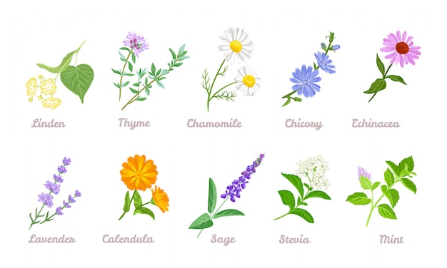 Kolekcja leczniczych ziół i kwiatów.