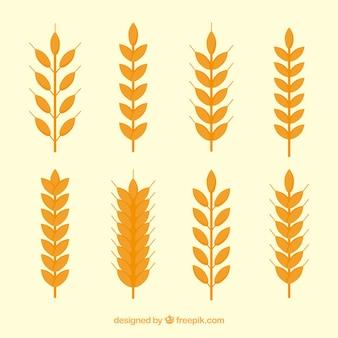Kolekcja pszenicy płaskiej