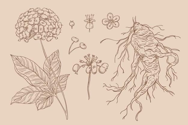 Kolekcja ręcznie rysowane żeń-szenia roślin