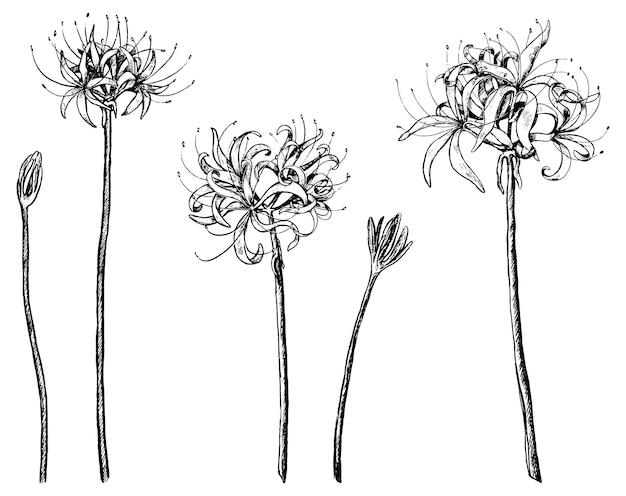 Kolekcja roślin egzotycznych lilia pająk. zestaw kwiatów lycoris. szkice botaniczne na białym tle. ręcznie rysowane ilustracji wektorowych. czarne elementy do projektowania.
