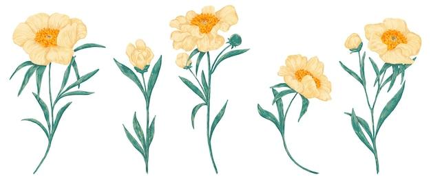 Kolekcja roślin piwonii claire de lune. zestaw polne kwiaty. rysunki botaniczne na białym tle. ręcznie rysowane ilustracji wektorowych.