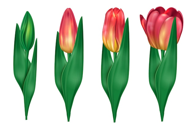 Kolekcja tulipanów, które otwierają ilustrację
