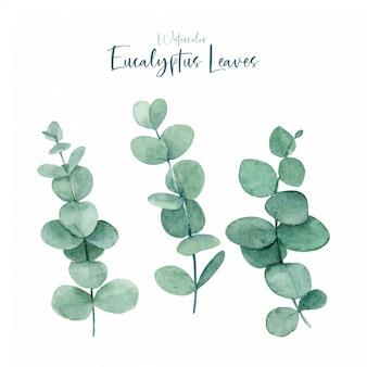 Kolekcje akwareli liści eukaliptusa