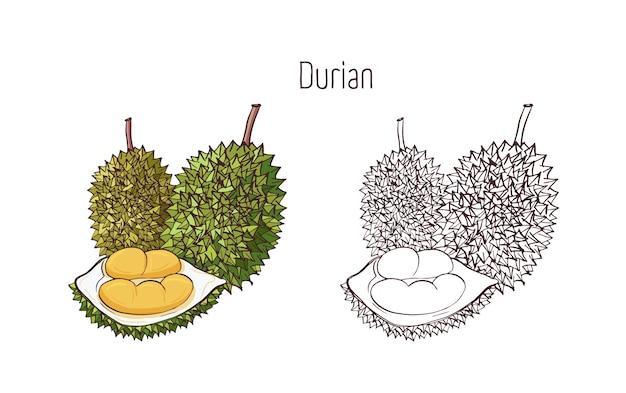 Kolorowe i zarysowe rysunki w monochromatycznych kolorach duriana na białym tle