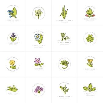 Kolorowe szablony scenografii i emblematy - zdrowe zioła i przyprawy. różne rośliny lecznicze, kosmetyczne. loga w modnym, linearnym stylu.
